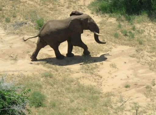 Morgan, a male bull in his 30s, was fitted with a tracking collar in December in Kenya's coastal Tana River Delta but in mid-Feb