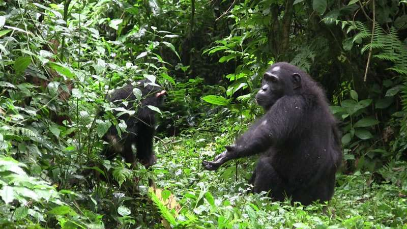 Mother-infant communication in chimpanzees