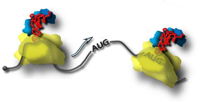 MSU biologists discovered a new facet of the mechanism of protein biosynthesis