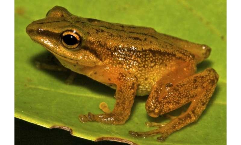 Golden Frog Discovered in Colombia, Named After El Dorado