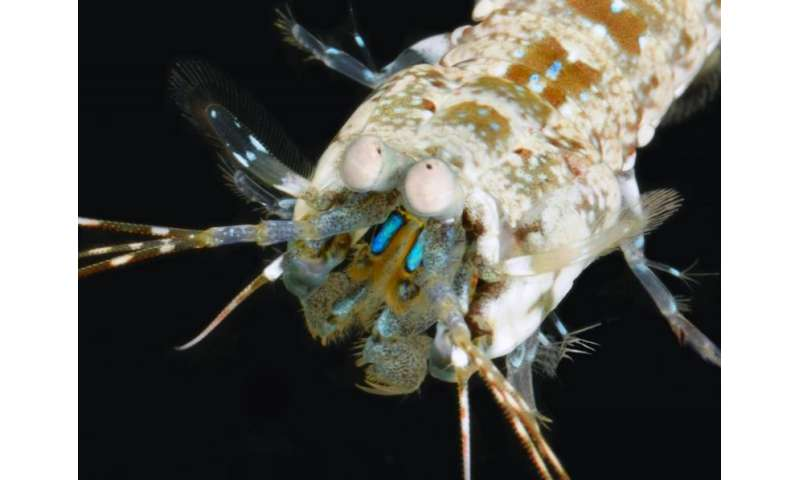 New type of optical material discovered in the secret language of the mantis shrimp