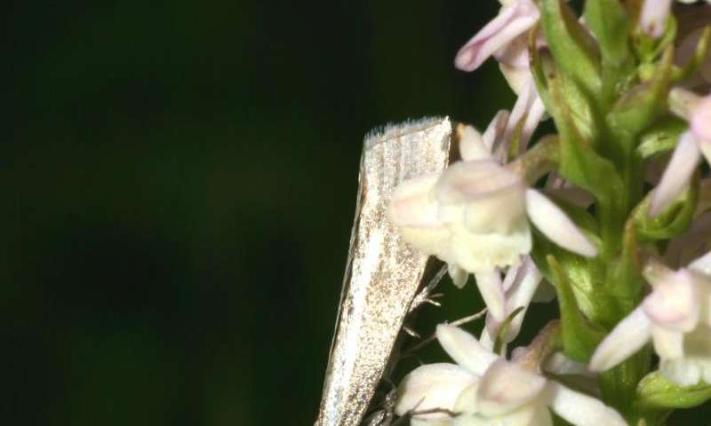 Orchid's scent stronger in Swiss lowlands than mountains