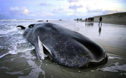 People walk near a beached sperm whale on the Dutch island of Texel on January 13, 2016