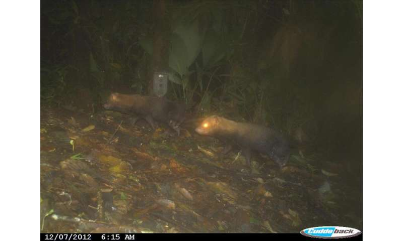 Photos show elusive bush dog to be widespread in Panama