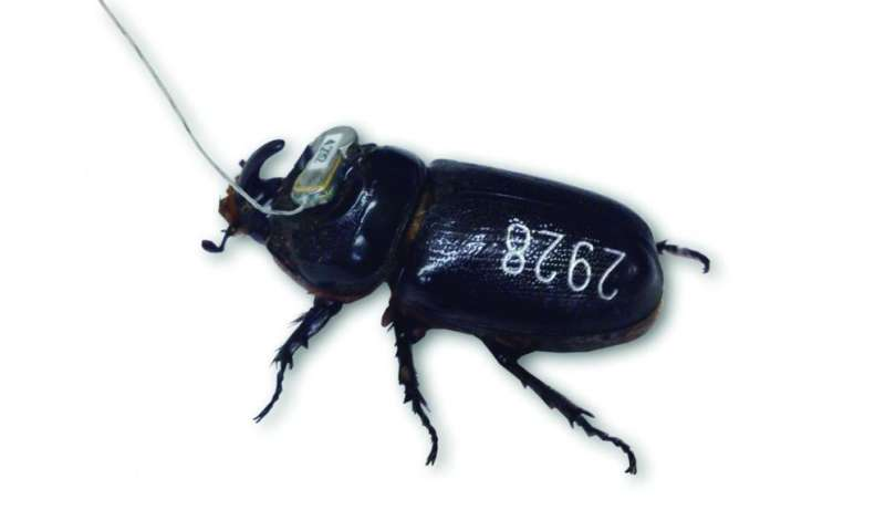 Radio rhinos: University of Guam scientist and colleagues tag coconut rhinoceros beetles