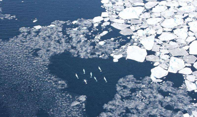 Rare beluga data show whales dive to maximize meals