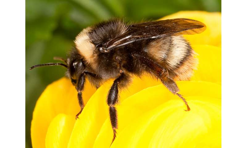 Rare bumble bee may be making a comeback in Pacific northwest