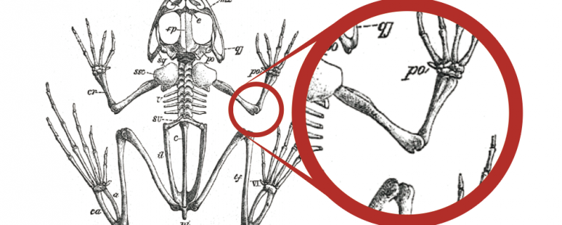Regrowing functional joints in frogs