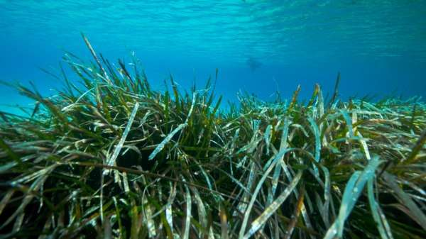 Seagrass doubles its chances in last-ditch reproductive strategy