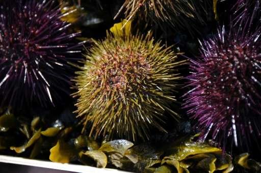Sea urchins, some fish and octopus have moved south in parts of Australia, according to a conference organiser