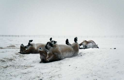 Six Przewalski horses born at a reserve in the south of France are now spending their first winter in Russia's flagship reintrod