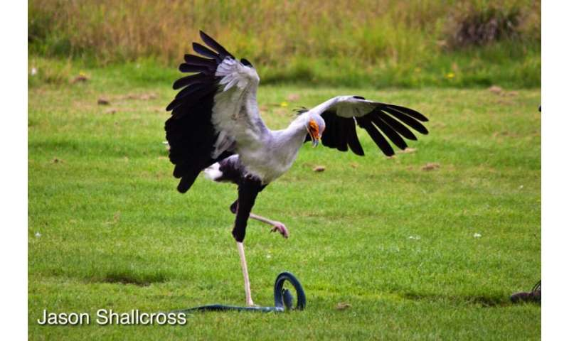 Snake-hunting secretary birds use the force of five times their body weight to stamp on and kill their prey