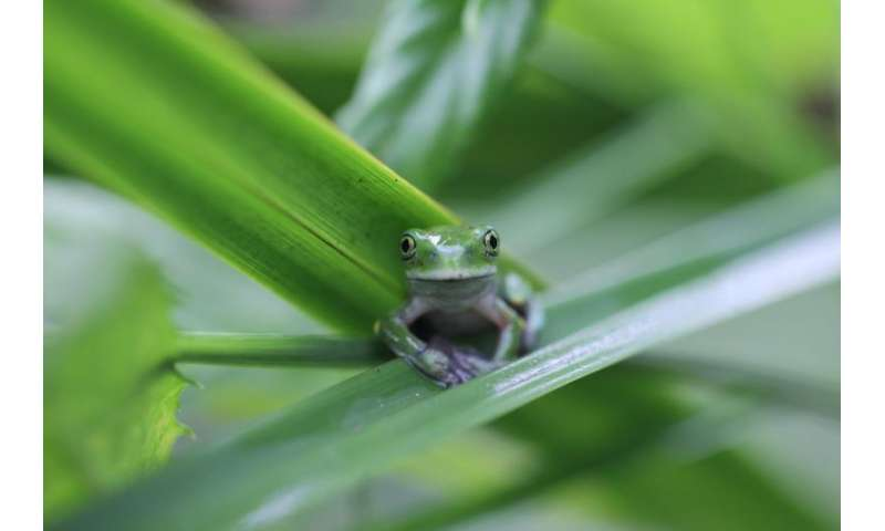 Study: Deadly amphibian fungus may decline