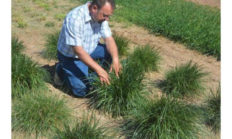 Summer-dormant, cool-season grasses good option for perennial pastures