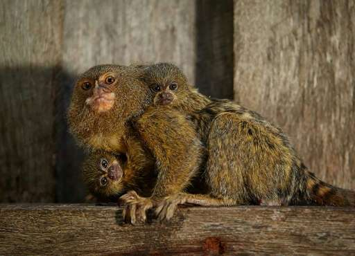 The marmosets, also known as thumb monkeys, are in demand on the black market as pets