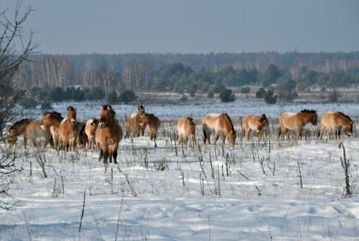 The Przewalski horse species was discovered by a Russian explorer in the 19th century, leading to a surge of interest in Europe,