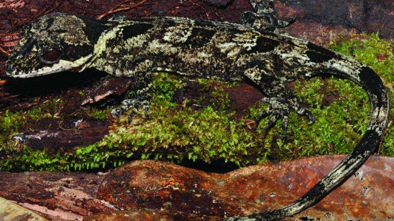 The scaled king and his knight: 2 new giant bent-toed gecko species from New Guinea