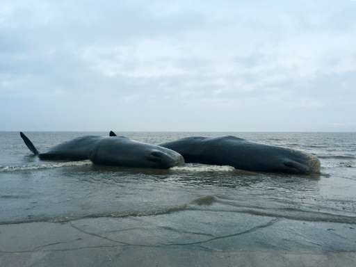 Two dead sperm whales are seen washed up on a beach near Skegness in northeast England on January 24, 2016 in a photo released b