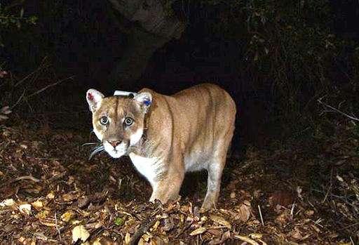 Wild mountain lion may have killed Los Angeles Zoo koala