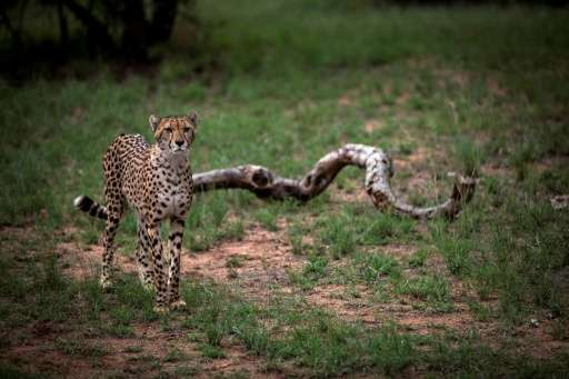 A major survey has revealed that just 7,100 adult cheetahs remain in the wild, and that the species faces extinction without urg