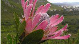 Biogeography of Protea in the Cape