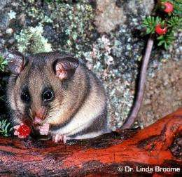 Can the past secure pygmy possum's future?