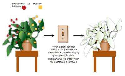 Biologists produce plants that detect environmental contaminants, explosives (w/ Video)