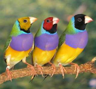 Gouldian Finches. Copyright Sarah Pryke
