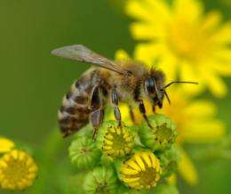 Honey bees: Genetic labeling decides about blue blood