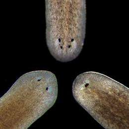 Body builders -- the worms that point the way to understanding tissue regeneration