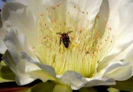 A bee (C) lands to collect pollen on the flower of a Cereus or Hedge Cactus in the coastal suburb of Cottesloe
