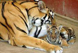 A Bengal tigress plays with its newly born cub in Myanmar's Yangon Zoological Gardens in 2005