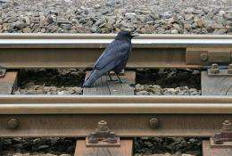 A blackbird forages for food on railway tracks