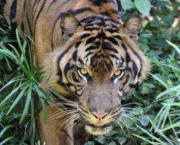 A captive Sumatran tiger pictured at Jakarta's Ragunan Zoo