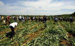 Activists rip out GM crops in a field in Menville