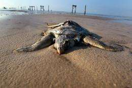 A dead sea turtle is seen laying on a beach in May in Waveland, Mississippi