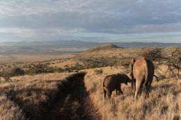 A female elephant feeds her cub in the Lewa Wildlife Conservancy