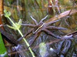 A female fen raft spider