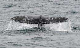A gray whale dives off the coast of southern California near Long Beach, California