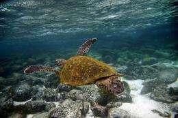 A Green sea turtle (Chelonia mydas)