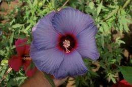 AgriLife research hibiscus breeder comes up with the blue