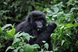 A juvenile mountain gorilla feeds on leaves on the slopes of Mount Mikeno in the Virunga National Park