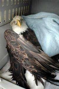 Alaska eagle survives plunge after mating dance (AP)