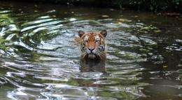 A Malayan Tiger takes a dip at the National Zoo in Kuala Lumpur