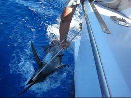Anglers and Stanford scientists track marlin's unusual migration routes