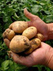 A person holds some Amflora potatoes