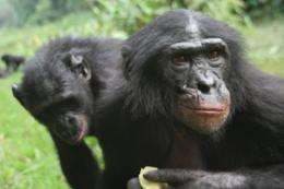 Apes unwilling to gamble when odds are uncertain