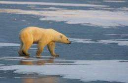 A Polar Bear walks on the frozen tundra on the edge of Hudson Bay in Mantioba
