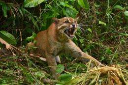 A rare Asian golden cat in Malaysia