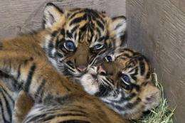 A rare Sumatran tiger has given birth to three cubs at an Indonesian zoo